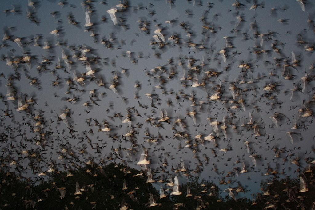 Šišmiši izlaze iz spilje